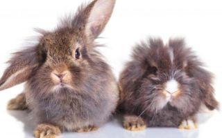 Методы того, как определить пол кролика