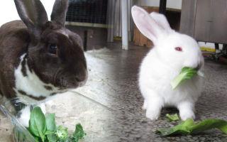 Рекомендации о том, чем кормить декоративного кролика