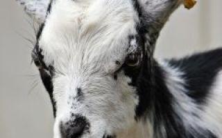 Как кормить козу домашнюю?