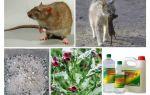 Как уничтожить крыс в курятнике?
