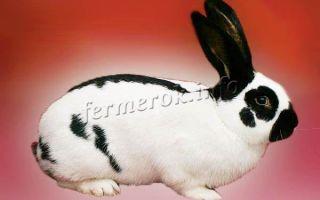 Как ухаживать за большими кроликами?