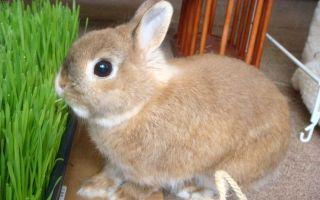 Как ухаживать за карликовым кроликом?