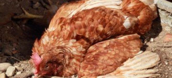Как разводить метиленовую синь для кур?