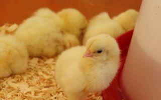 Как сделать брудер для цыплят?