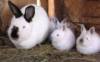 Как содержать калифорнийского кролика?