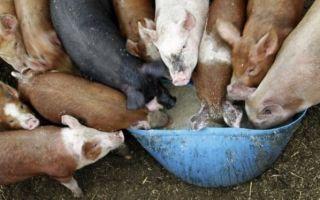 Как приготовить комбикорм для свиней?