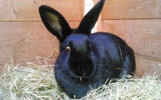 Как ухаживать за новозеландскими кроликами?