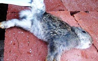Как лечить кокцидиоз у кроликов?