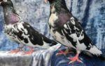 Содержание домашних голубей