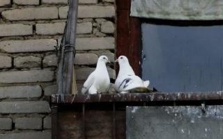 Как прогнать голубей на балконе?