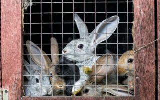 Как определить беременность крольчих?