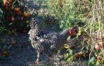 Как применять, как удобрение, куриный навоз?