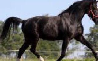 Характеристика арабской лошади