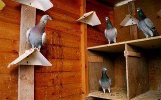 Как выкормить птенца голубя?