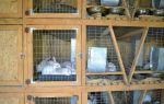 Содержание кроликов Рекс