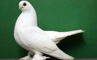 Характеристика сизого голубя