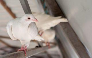 Разведение бакинских голубей