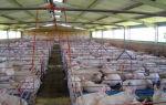 Как произвести откорм свиней?