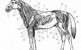 Какие изменения скелета лошади?