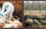Чем опасна африканская чума свиней?