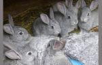 Разведение кроликов советская шиншилла