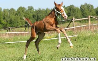 Разведение донских лошадей
