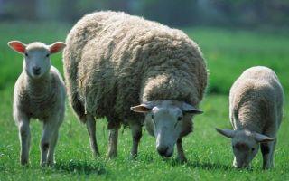 Как называется детёныш овцы?