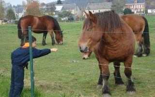 Как ухаживать за лошадью тяжеловоз?