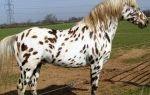 Как появилась лошадь аппалуза?