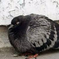 Болезни голубей и их лечение - разновидности болезней, симтомы, лечение