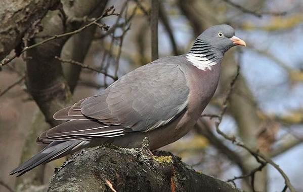 Сизый голубь: описание и характеристика вида, ареал, условия жизни