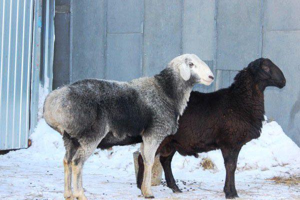 Гиссарская порода овец: особенности содержания, кормления, вакцинация