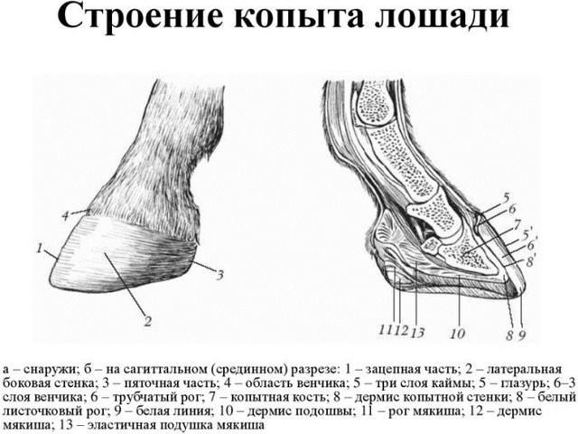 Копыто лошади: особенности строения, форма и размер
