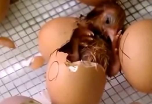 Курица наседка: уход, питание и выбор яиц для высиживания