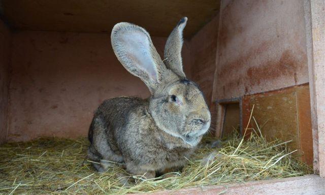 Большие кролики: обзор самых популярных пород
