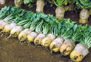 Кормовая свекла: особенности выращивания, хранение