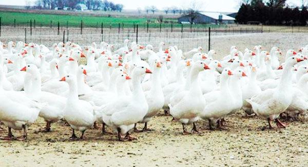 Выращивание гусей на мясо как бизнес: рентабельность и выгода