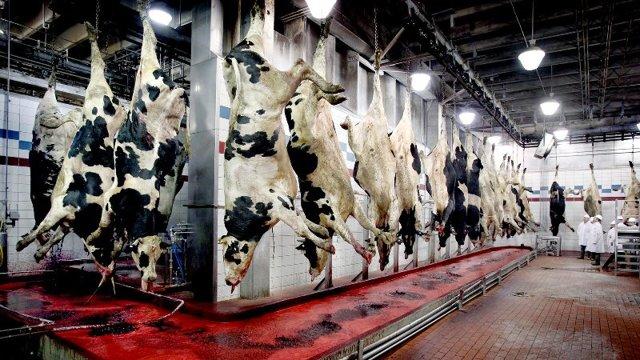 Забой скота: способы забоя КРС на ферме, промышленный забой