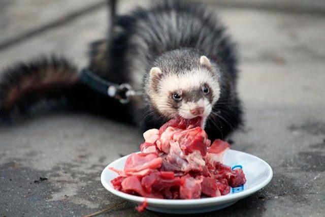 Чем питается хорек - рацион питания домашнего хорька