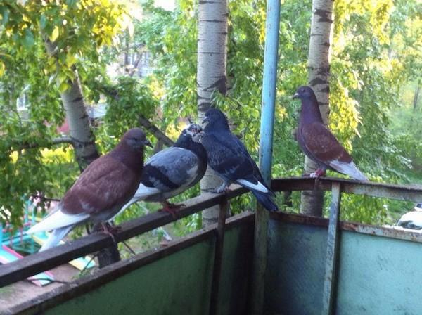 Как избавиться от голубей на балконе: проверенные средства