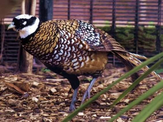 Обыкновенный фазан - разновидности и особенности содержания