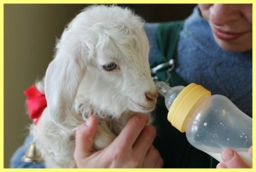 Как отучить козлят от вымени - проверенные способы
