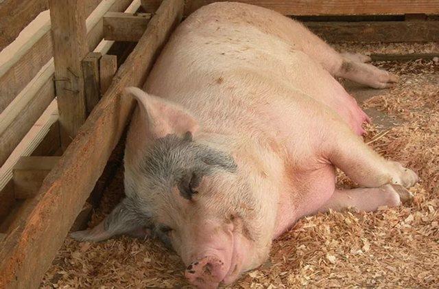 Оплодотворение свиней искусственным путем