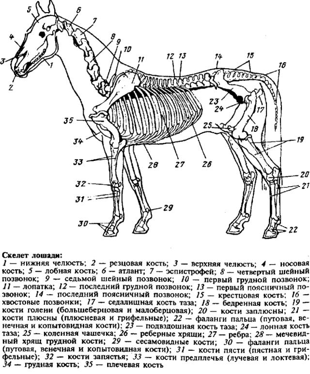 Скелет лошади: особенности строения, внутренние органы