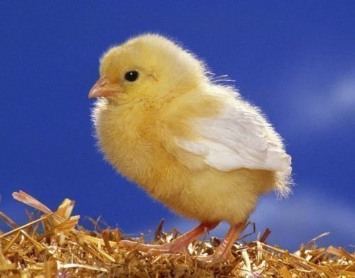 Как определить пол цыпленка - эффективные и проверенные методы