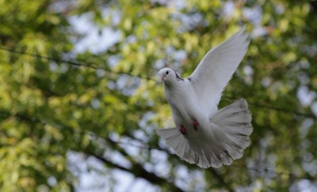 Бакинские бойные голуби: описание породы и разведение