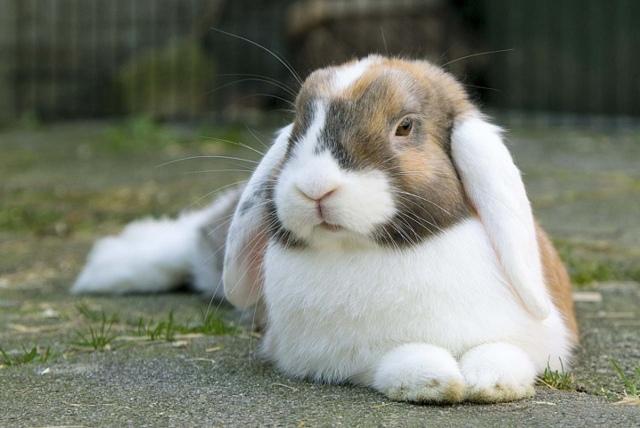 Кролик - баран: особенности вида и условия содержания