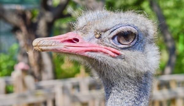 Разведение страусов: особенности выращивания, выгода бизнеса