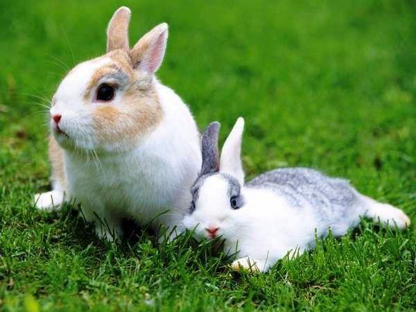 Кокцидиоз у кроликов: симптомы, способы лечения