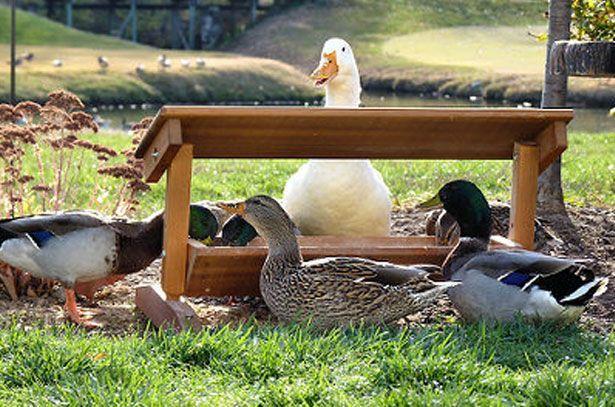 Подсадные утки: содержание, кормление и разведение